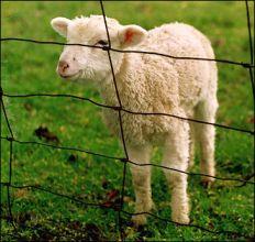 Cute Lamb: