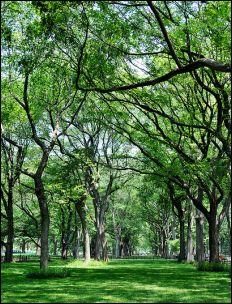 Elm Trees: