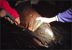 Porpoise Rescue Attempt Near Grange Farm Beach