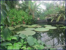Ventnor Botanic Garden - Hot house Water Lillies: